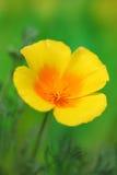 California Golden Poppy. Close-up of California Golden Poppy stock photo