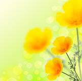 California Golden Poppy. Flowers.Summer background royalty free stock photo