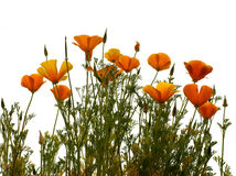 California golden poppy. Isolated on wihite background stock images