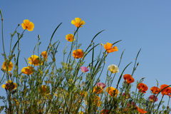 California golden poppy Royalty Free Stock Photography
