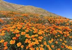 California Golden Poppy. In Bloom, Antelope Valley, California royalty free stock photos