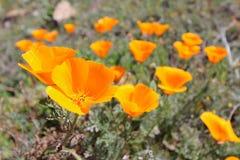 California golden poppy, California, USA. California golden poppy field, close-up of blossoms royalty free stock photo