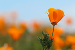 California golden poppy flower, close up royalty free stock images