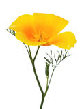 California Golden Poppy flower isolated on white. Close-up of California Golden Poppy flower isolated on white background royalty free stock photography