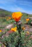California golden poppy flowers, Big Sur Coast, California, USA Royalty Free Stock Photography