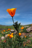 California golden poppy flowers, Big Sur, Highway 1, California Stock Photo