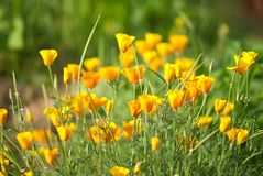 California golden poppy. Flowers blooming on field. Selective focus stock photography