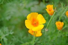 California golden poppy. Flowers blooming on field. Selective focus stock images