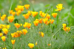 California golden poppy. Flowers blooming on field. Selective focus stock photo