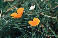 California golden poppy flowers - in Latin Eschscholzia californica - under sunlight. Summer floral background. California golden poppy flowers - in Latin royalty free stock image