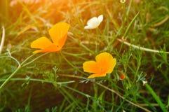 California golden poppy flowers - in Latin Eschscholzia californica - under sunlight. Summer floral landscape. California golden poppy flowers - in Latin royalty free stock photography