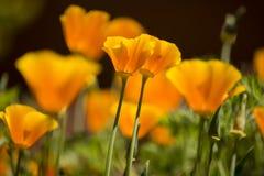 California Golden poppy flowers. Under the bright sun stock images