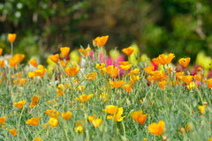 California Golden Poppy flowers. Yellow flowers spring garden royalty free stock images