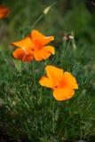 California Golden Poppy Stock Image