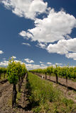 California Grape Vines Royalty Free Stock Images
