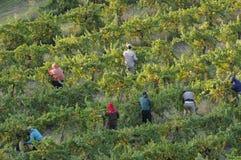 California Grape Vineyard Harvest. Morning at a Mendocino County, California, grape harvest Royalty Free Stock Photo