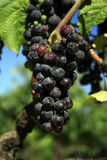 California Grapes. Grapes grown for wine-making hang in a vineyard in northern California, droplets of water on grapes, Shallow depth of field Stock Photos
