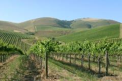 California grapes. Rows and rows of califorina grapes, vineyards Royalty Free Stock Photos