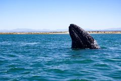 California gray whale in Baja, Mexico. A California gray whale breaches in the UNESCO-listed San Ignacio calving lagoon in the whale sanctuary of El Vizcaino in stock image