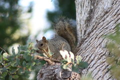 California Grey Squirrel. On a Scrub Oak Tree Stock Photo