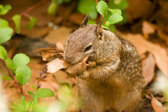 California Ground Squirrel. A California ground squirrel gathering leaves for a nest Royalty Free Stock Image