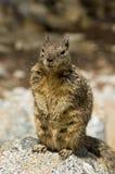 California ground squirrel Stock Image