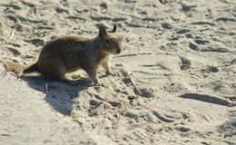 California Ground Squirrel Stock Photos