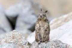 California ground squirrel Royalty Free Stock Image