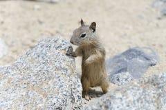 California ground squirrel Royalty Free Stock Photos