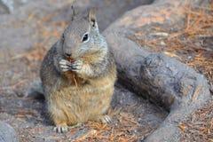 California ground squirrel. At Yosemite NP Stock Photo