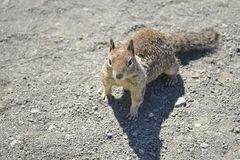 California ground squirrel Stock Images