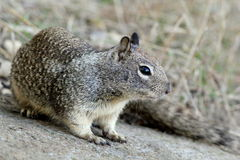 California Ground Squirrel Stock Image