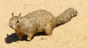 California Ground Squirrel Stock Photos