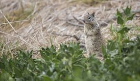 California Ground Squirrel. A cute little California Ground Squirrel pops its head up to look around before continuing to munch on some greens Stock Image