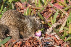California Ground Squirrel Eating Flower Royalty Free Stock Photography