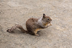 California Ground Squirrel eating tourist biscuit in Pacific Hwy Stock Photography