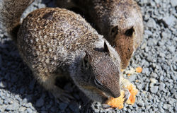 California Ground Squirrel Stock Photo