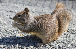 California Ground Squirrel. Feeding on bread Stock Images