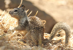 California ground squirrel,Los Angeles, California Royalty Free Stock Image