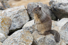California Ground Squirrel Royalty Free Stock Images