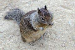 California Ground Squirrel Stock Images
