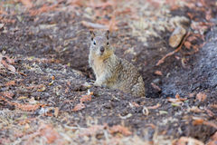 Free California Ground Squirrel - Otospermophilus Beecheyi Stock Photography - 78709642