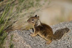 California Ground Squirrel, Otospermophilus beecheyi Stock Image