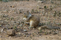 California Ground Squirrel, Otospermophilus beecheyi Royalty Free Stock Photography