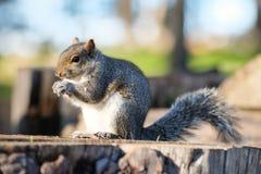 California ground squirrel, Otospermophilus beecheyi. In Golden Gate Park, San Francisco Stock Photos