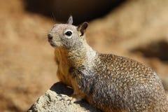 California ground squirrel Otospermophilus beecheyi. In rocky habitat in central California, United States of America Royalty Free Stock Image