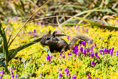 California ground squirrel (Otospermophilus beecheyi). A California ground squirrel (Otospermophilus beecheyi) is checking for trouble Royalty Free Stock Images