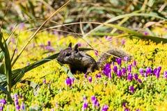 California ground squirrel (Otospermophilus beecheyi) Royalty Free Stock Images