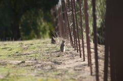 California ground squirrel Otospermophilus beecheyi Close Up. California ground squirrels Otospermophilus beecheyi looking through the fence line in San Diego Stock Images