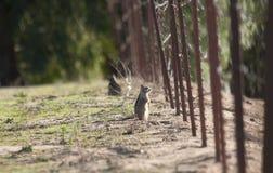 California ground squirrel Otospermophilus beecheyi Close Up Royalty Free Stock Photography